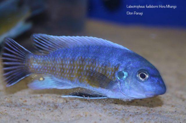 Labeotropheus fuelleborni Hora Mhango