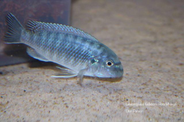Labeotropheus fuelleborni Hora Mhango (samice)