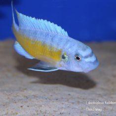 Labeotropheus fuelleborni (21)
