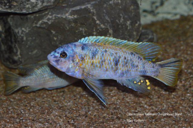 Labeotropheus fuelleborni (22)