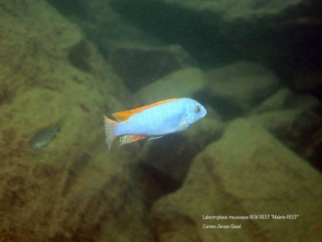 Labeotropheus trewavasae New Reef Maleri