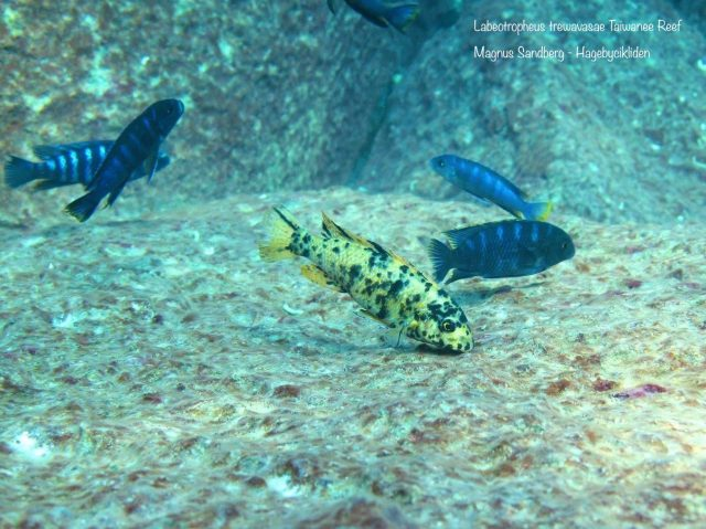 Labeotropheus trewavasae Taiwanee Reef (OB samice)