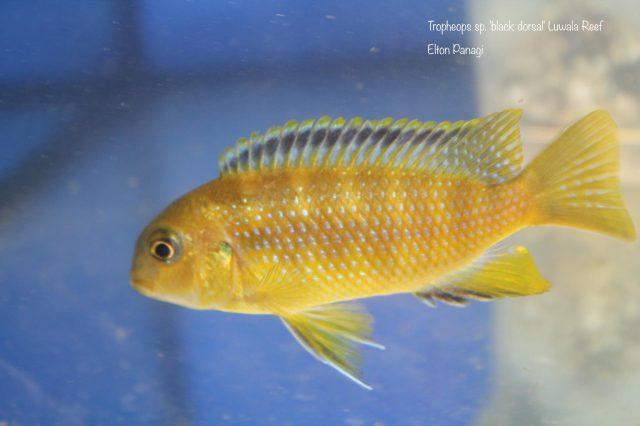 Tropheops sp. 'black dorsal' Luwala Reef (samice)