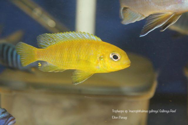 Tropheops sp. ,macrophthalmus'