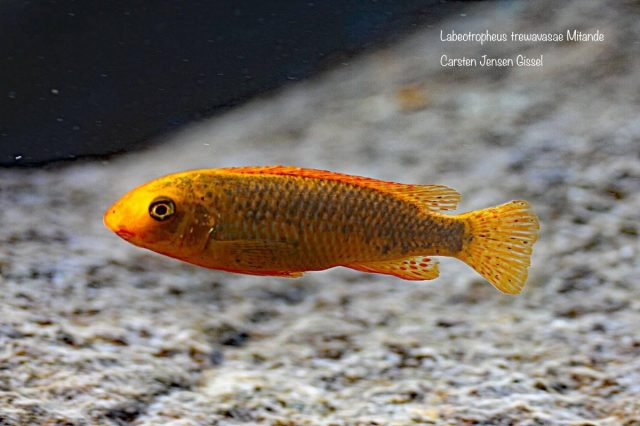 Labeotropheus trewavasae Mitande (O samice)