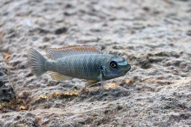 Labeotropheus trewavasae Mitande (samice)