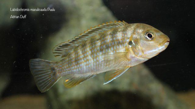 Labidochromis maculicauda (samice)