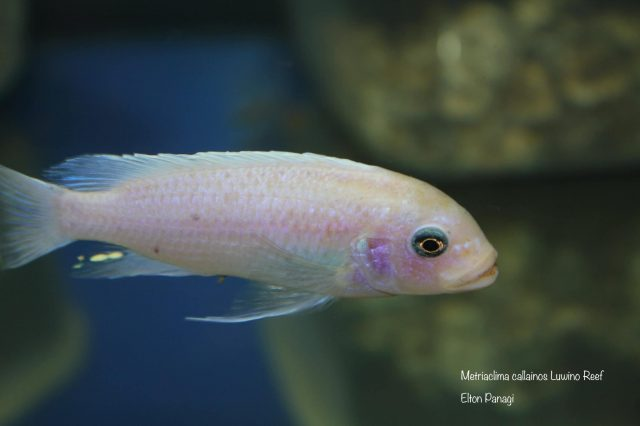 Metriaclima callainos Luwino Reef