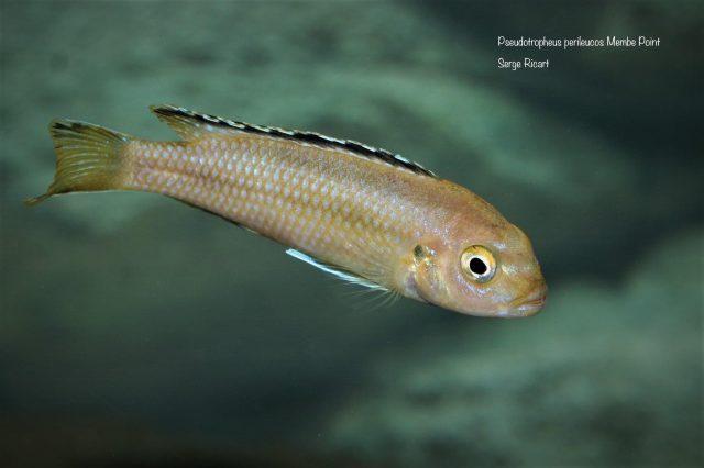 Pseudotropheus perileucosMembe Point (samice)