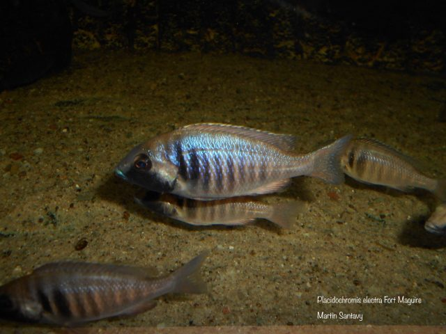 Placidochromis electra Fort Maguire (samice)