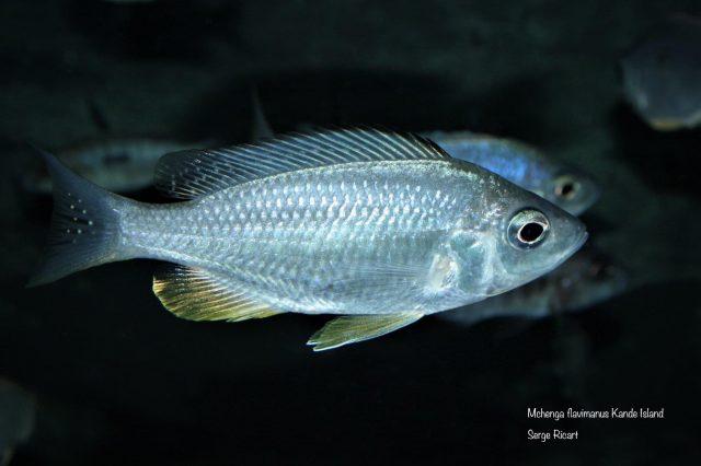 Mchenga flavimanus Kande Island(samice)