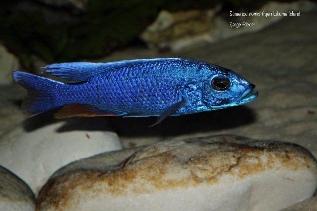 Sciaenochromis fryeri Likoma Island