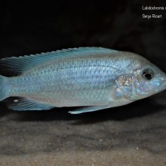 Labidochromis caeruelus Chadagha