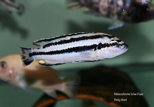Melanochromis loriae Puulu