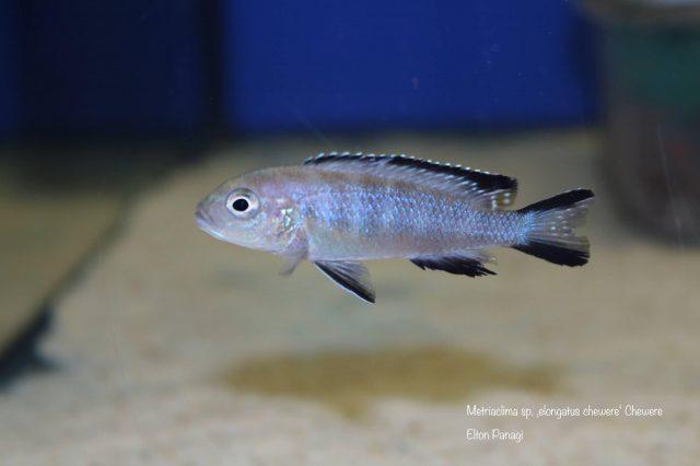 Metriaclima sp. 'elongatus chewere' Chewere (samice)
