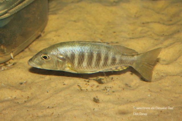 Sciaenochromis ahli (samice)