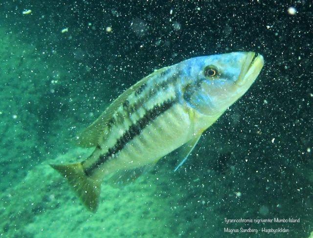 Tyrannochromis nigriventer