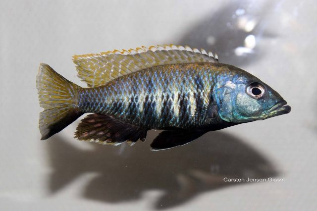 Sciaenochromis sp. 'nyassae' (samec)