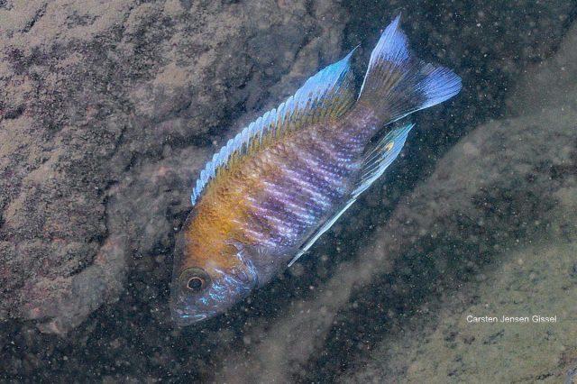 Aulonocara jacobfribergi Makokola Reef (samec)