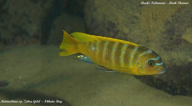 Metriaclima sp. 'zebra gold' (samec)