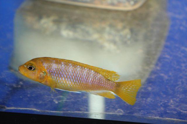 Metriaclima hajomaylandia (samice)