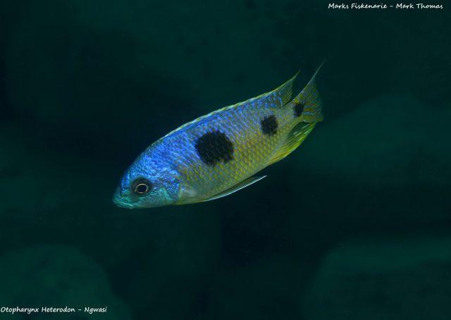 Otopharynx heterodon Ngwazi (samec)
