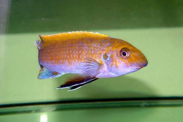 Labeotropheus trewavasae (samec)