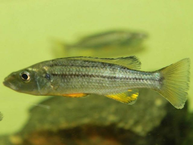 Rhamphochromis longiceps