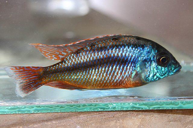 Protomelas taeniolatus (samec)