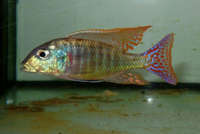 Lethrinops marginatus (samec)