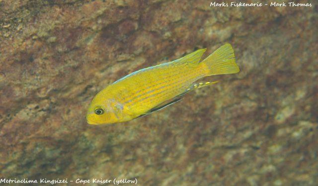 Metriaclima sp. ,kingsizei lupingu' (samec)