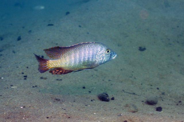 Lethrinops lethrinus Malopa (samec)