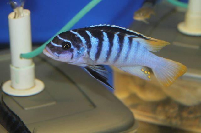 Metriaclima fainzilberi Luwino Reef (samec-male)