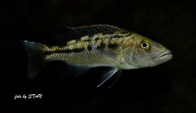Tyrannochromis macrostoma (samice)
