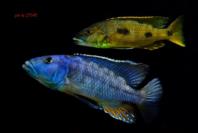 Tyrannochromis macrostoma (samec)