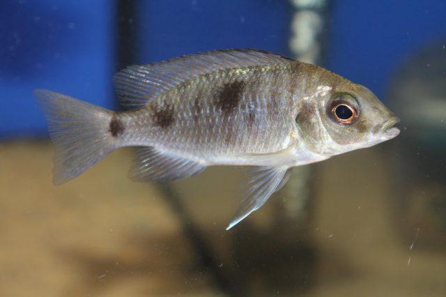 Otopharynx sp. 'auromarginatus mara' (samice)