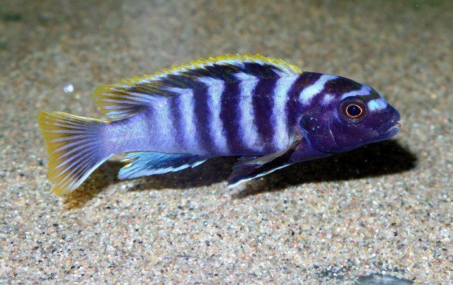 Labidochromis sp. 'mbamba' (samec)