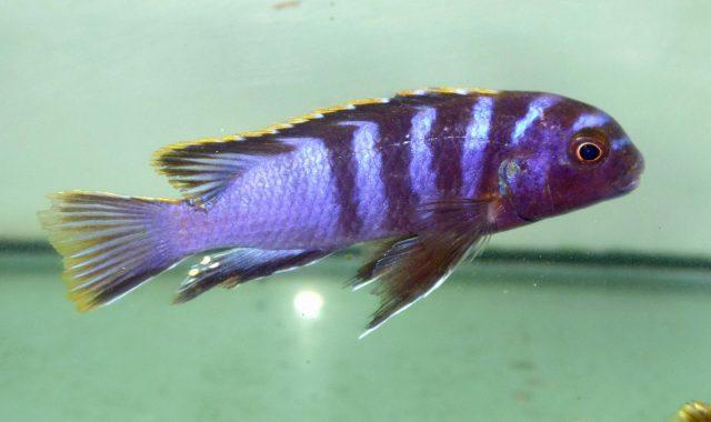 Labidochromis sp. 'mbamba'