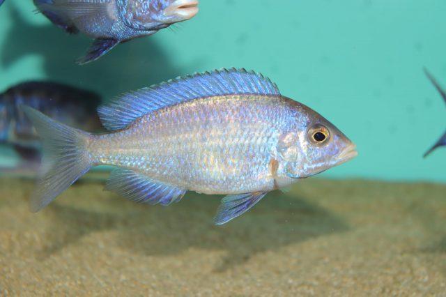 Placidochromis phenochilus (samice)