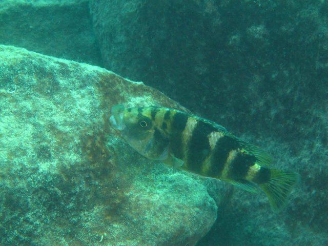 Placidochromis milomo (samice)