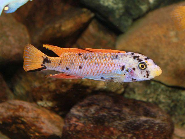 Labeotropheus trewavasae Mitande (MC samec)
