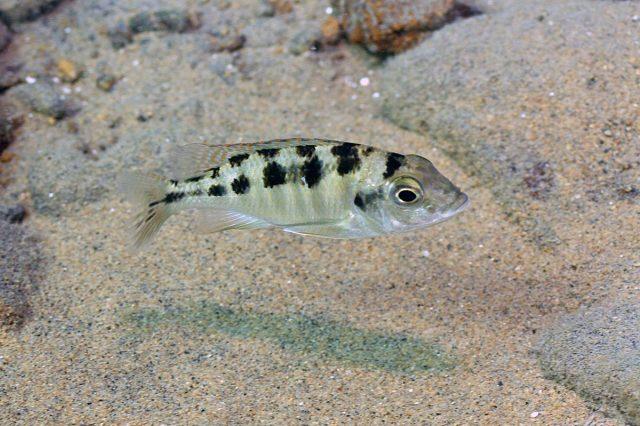 Mylochromis mola Malopa (samice)