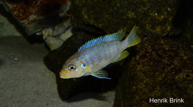 Metriaclima sp. 'msobo heteropictus' Liuli (samice)
