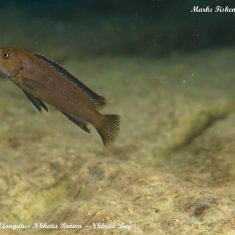 Chindongo sp. 'elongatus nkhata'