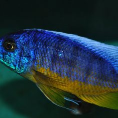 Protomelas sp. 'spilonotus'