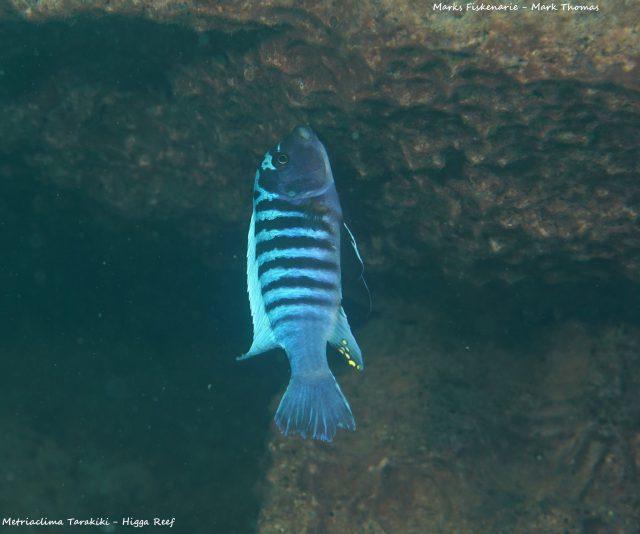 Metriaclima tarakikiHigga Reef (samec)