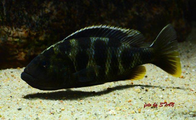 Nimbochromis venustus (samice)